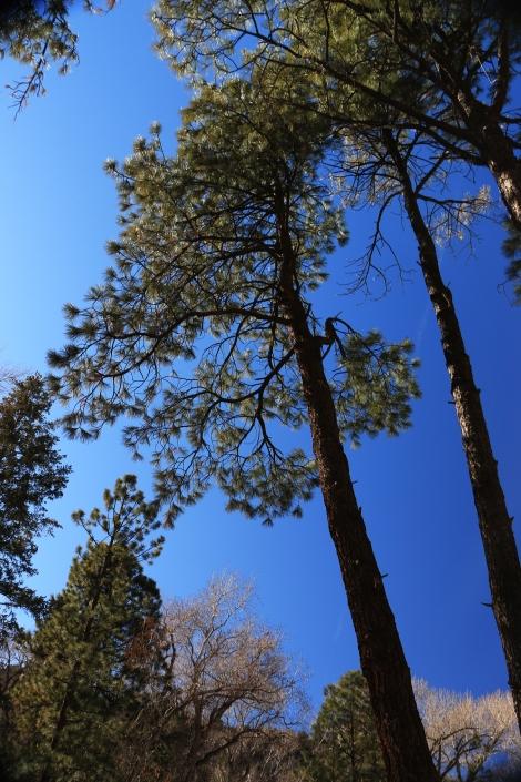 Bandelier Pines