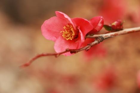 IMG_6359-appleblossom1