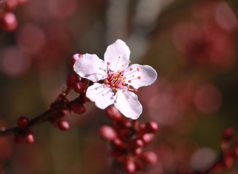 Blossom with Bokeh