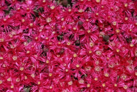 IMG_8965-PinkCarpetDelosperma cooperi