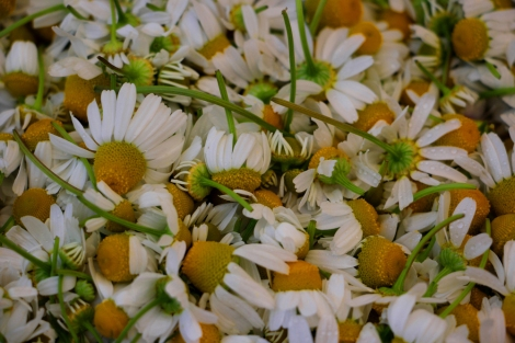 chamomile-edible-flowers-greenmarket-unionsquare-snapmammas