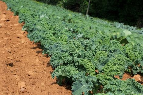 Kale-Alstede-Farms-Snapmammas