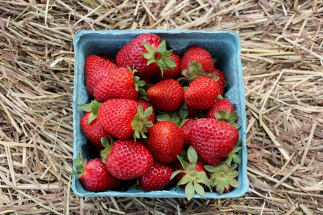 Strawberry-Picking-Alstede-Farms-Snapmammas