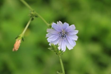 Cichorium intybus | Chicory
