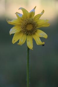 IMG_9497-Demotte-YellowFlowerAntSMALL