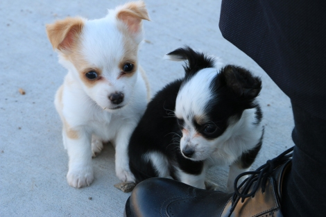 IMG_7886-Puppies-Small