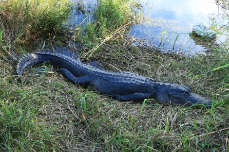 IMG_1755 -EvergladesAlligator