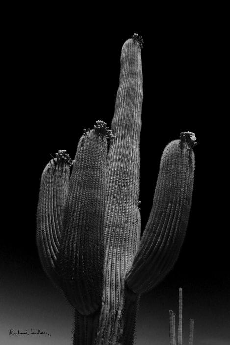IMG_5420-SaguaroWesp-RedContrastFilterBWFLICKR