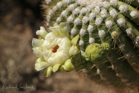 IMG_5601-SaguaroNPwest-FlowerCloseup-FLICKRsig