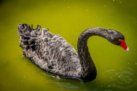 BlackSwan-0255