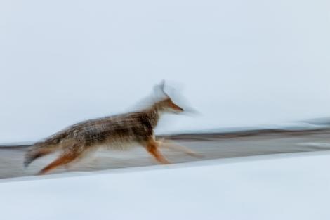 Coyote-5264-small