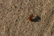 Red Velvet Ant ,  aka Cowkiller | Dasymutilla aureola pacifica - This is a female, wingless wasp and not an ant at all. Its bright red colors indicate trouble, and the sting is said to be strong enough to kill a cow!