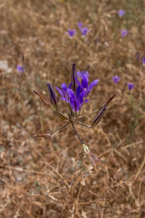 elegant-brodiaea_WestlakeCalifornia-1664-sigweb