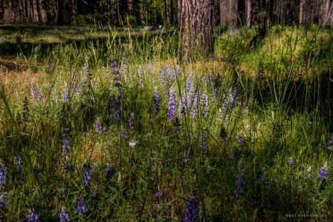 Yosemite-Lupine-6370-sigweb