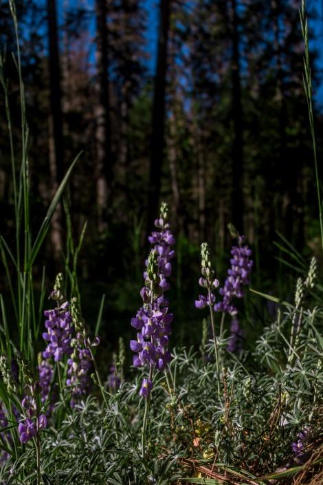 Yosemite-Lupine-6383-sigweb